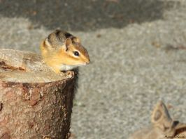 Chipmunk in the Setting Sun by MikaSharpie