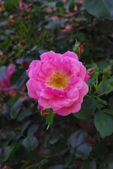Rose 2015 by Parinferal