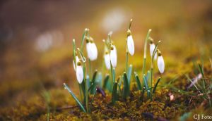 snowdrop by CJacobssonFoto