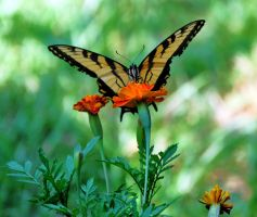Eastern Tiger Swallowtail III by jennalynnrichards