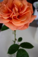 Rose above the thorns by studioish