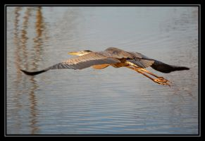 heron departing by photom17