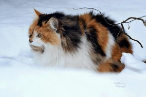 cat in snow by SvitakovaEva