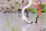Thirsty flamingo. by Ravenith