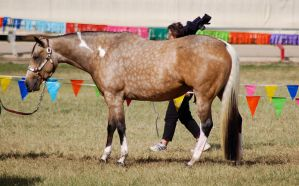 QH buckskin side on by Chunga-Stock