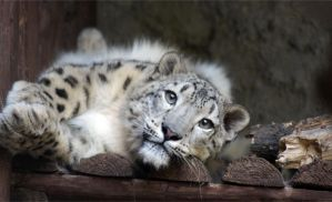 Snow Leopard by Vertor