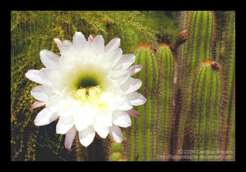 Cactus in Bloom by fishtankbabe
