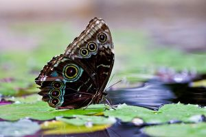 Blue Morpho On The Pond 2 by gentleworks