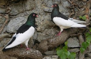 pair of pigeons by riviera2008