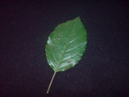 leaf one - rose leaf by EmKins-Resources