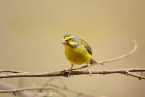 Green singing finch by DominikaAniola