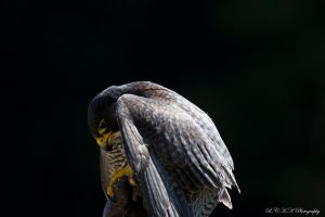 Hawk_02 by PiTurianer