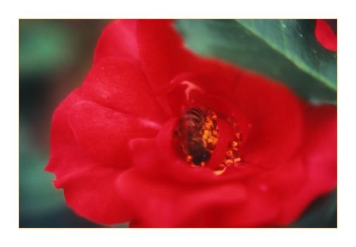 Rose and Bee by tophyr