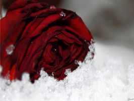 Rose... by alleena8