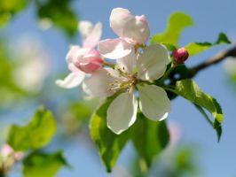 Apple Blossom by krista-perse