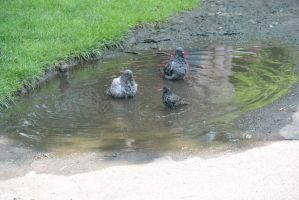 Bird Bath In the Puddle, the Gathering 7 by Miss-Tbones