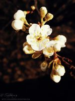 Plum tree blossoms by selinmarsou