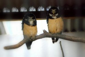Spectacled Owls by twistedtoy