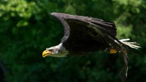 flying Bald Eagle by WildGepard