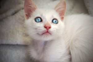 Blue eyed kitten by KanePachuz