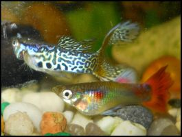 Young males guppy by FuriarossaAndMimma