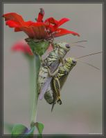 Grasshoppers 20D0036955 by Cristian-M