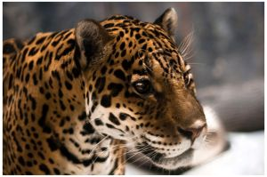 Jaguar Portrait by OrangeRoom
