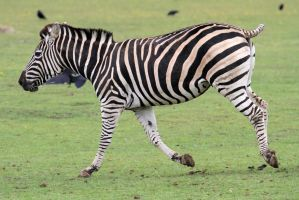 Zebra 03 by LydiardWildlife