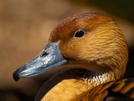 Fulvous Whistling Duck 00 - Jun 13 by mszafran