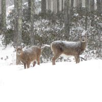 My deer in snow by Colornote