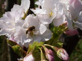 Honey Bee on Cherry Blossom by pipilo
