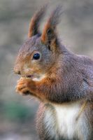 Red Squirrel by pjones747