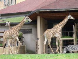 Giraffes, Moscow Zoo by Garr1971