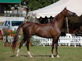 TW Arab liver chestnut stand side view by Chunga-Stock
