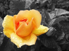 rain drops on roses by Reginald-Tribianni