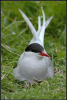 Nesting Arctic Tern by nitsch