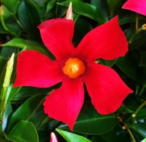 mandevilla - the red star by deirdrebardowl