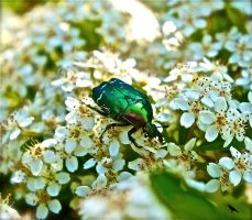 Small Scarab beetle by jennystokes