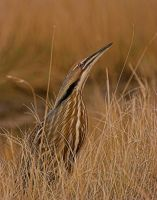 American Bittern by jsegraves99