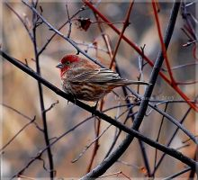 Winter Finch by adeb1113