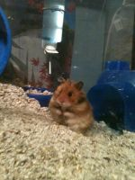 My hamster by Simplications