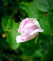 Pink in the green by Noncsi28