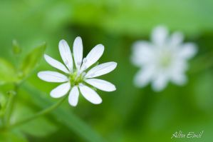 white flower by albuemil