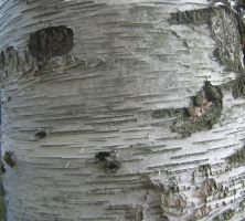 bark texture 02 by CotyStock