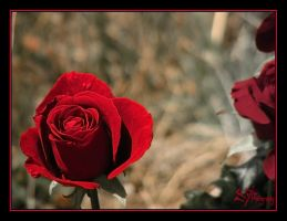 Rose of Memory by iFix