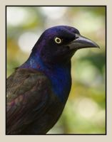 Portrait of a Grackle by barcon53