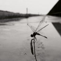 dragonfly by Ariake Sea by Waterdroplet-s