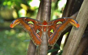 Atlas moth by DFWHDR