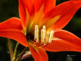 Anthers by rnjoschua