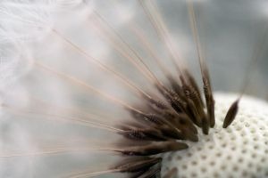 Dandelion Wallpaper II by X-chromosome